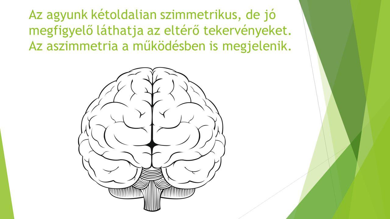 Az agyunk kétoldalian szimmetrikus, de jó megfigyelő láthatja az eltérő tekervényeket.