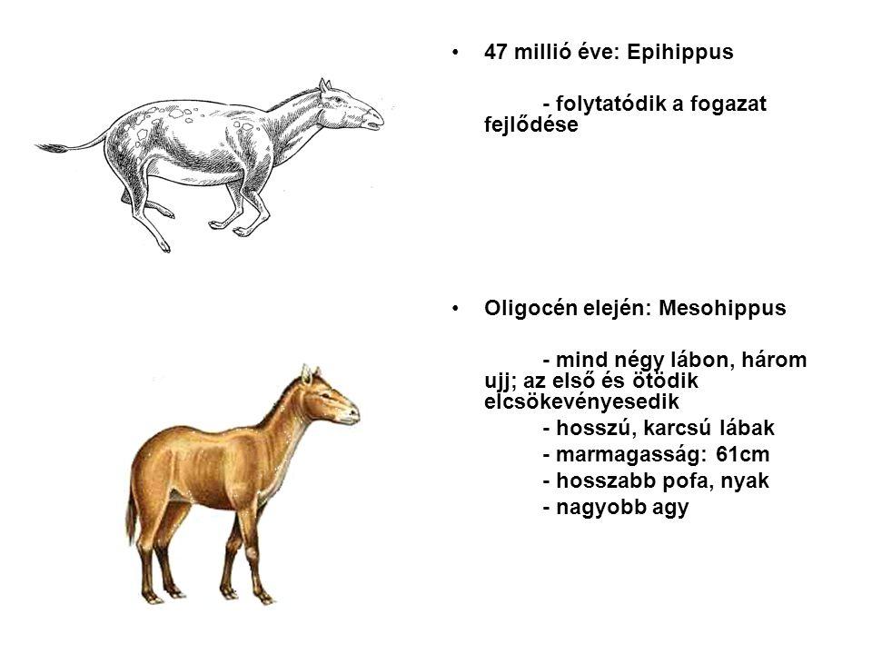 47 millió éve: Epihippus - folytatódik a fogazat fejlődése. Oligocén elején: Mesohippus.