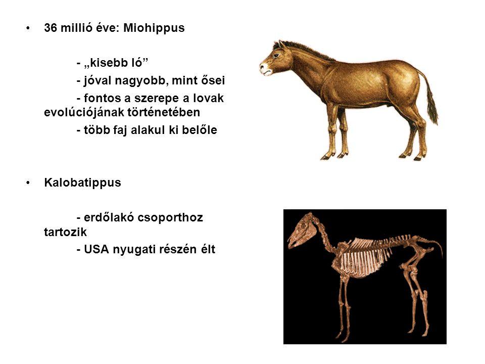 """36 millió éve: Miohippus - """"kisebb ló - jóval nagyobb, mint ősei. - fontos a szerepe a lovak evolúciójának történetében."""