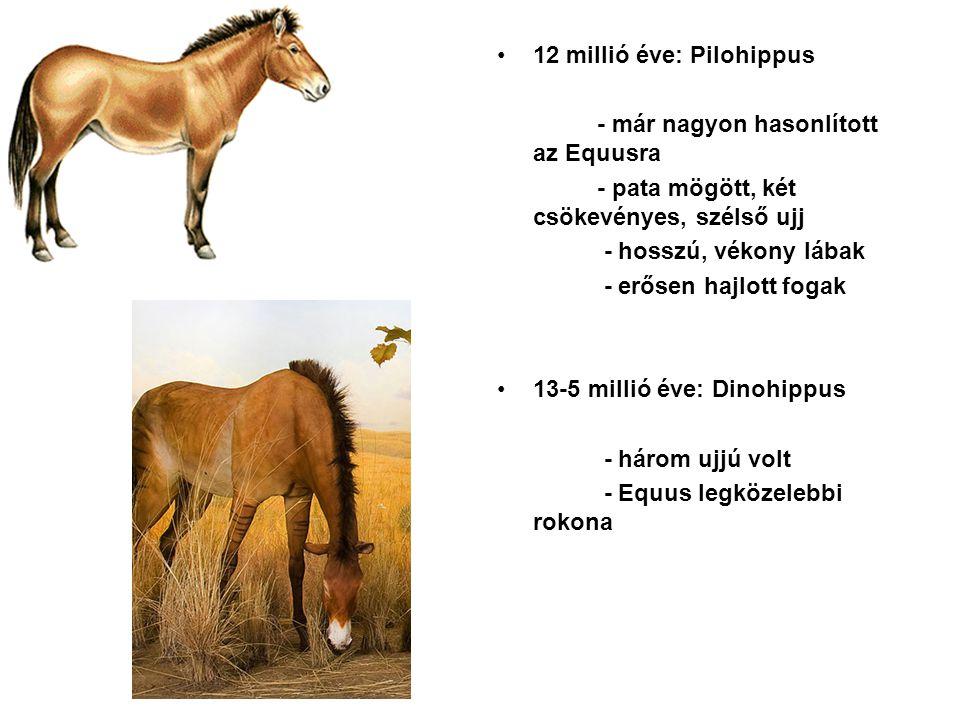 12 millió éve: Pilohippus