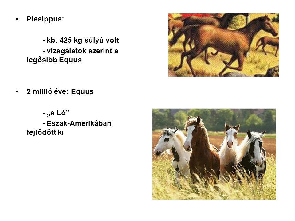 """Plesippus: - kb. 425 kg súlyú volt. - vizsgálatok szerint a legősibb Equus. 2 millió éve: Equus. - """"a Ló"""
