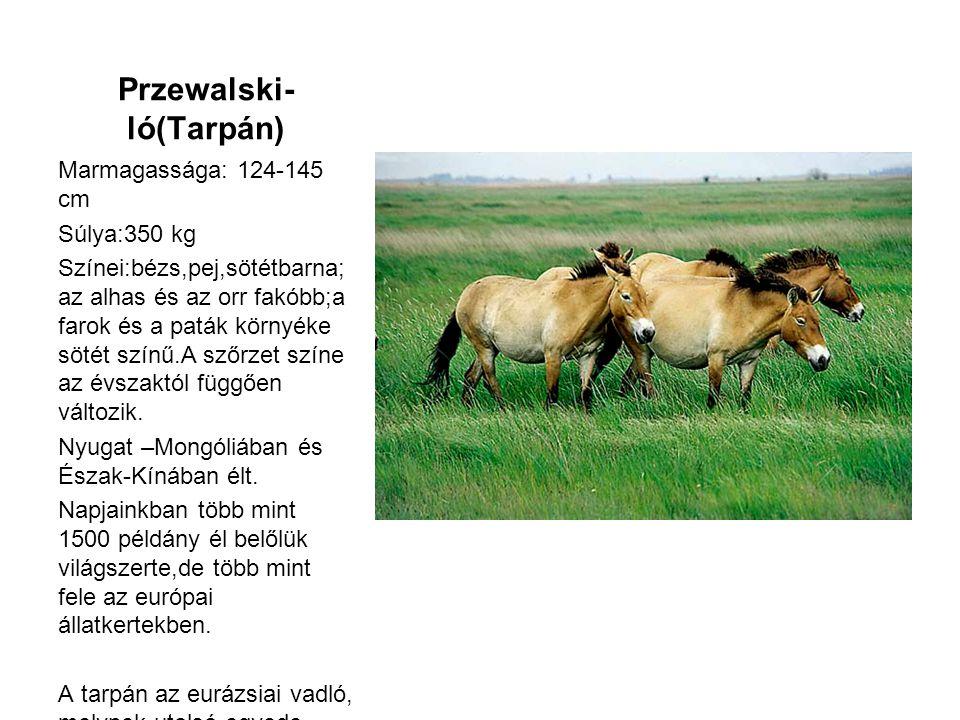 Przewalski-ló(Tarpán)