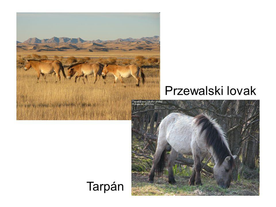 Przewalski lovak Tarpán
