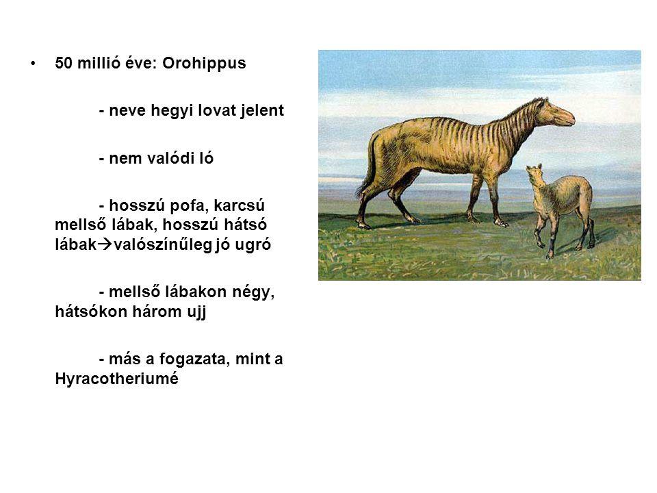 50 millió éve: Orohippus - neve hegyi lovat jelent. - nem valódi ló. - hosszú pofa, karcsú mellső lábak, hosszú hátsó lábakvalószínűleg jó ugró.