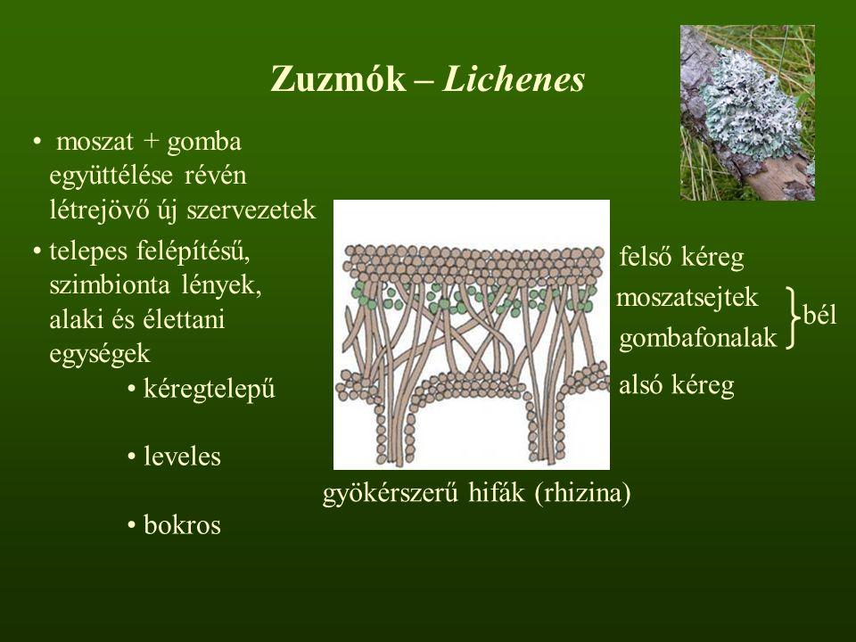 Zuzmók – Lichenes moszat + gomba együttélése révén létrejövő új szervezetek. telepes felépítésű, szimbionta lények, alaki és élettani egységek.