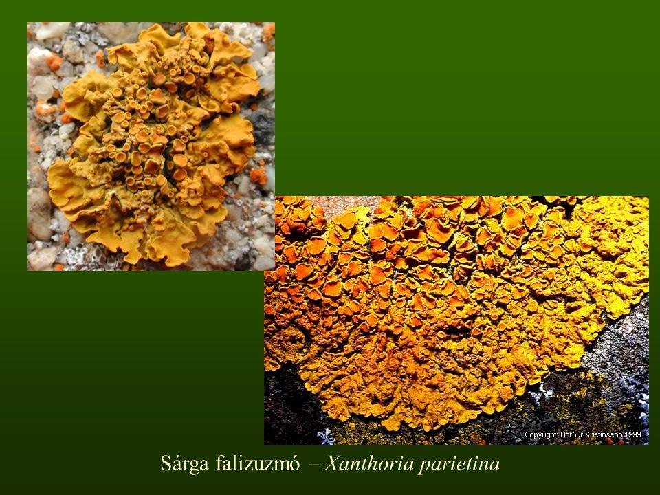 Sárga falizuzmó – Xanthoria parietina