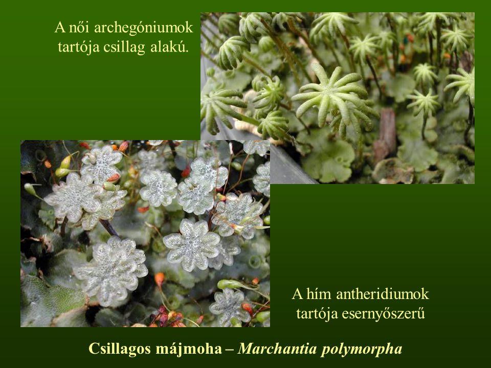 Csillagos májmoha – Marchantia polymorpha