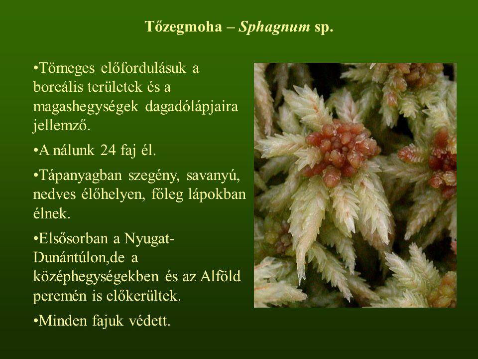 Tőzegmoha – Sphagnum sp.