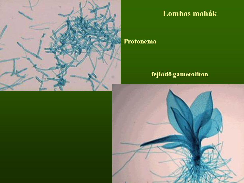 Lombos mohák Protonema fejlődő gametofiton