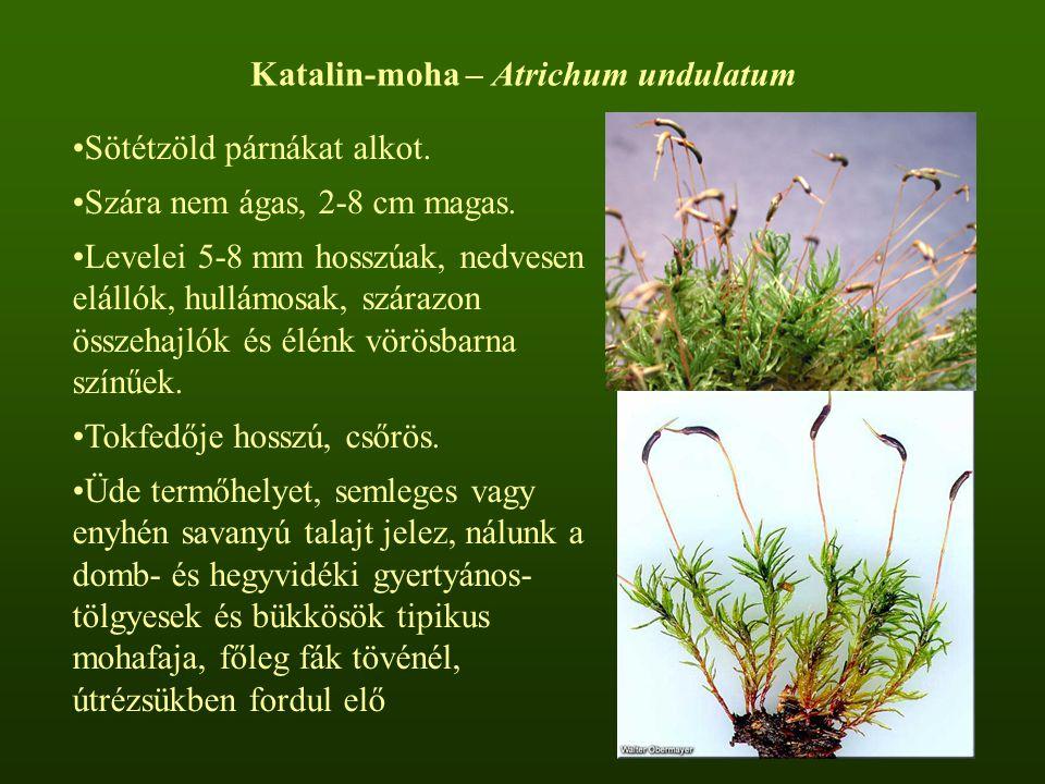Katalin-moha – Atrichum undulatum