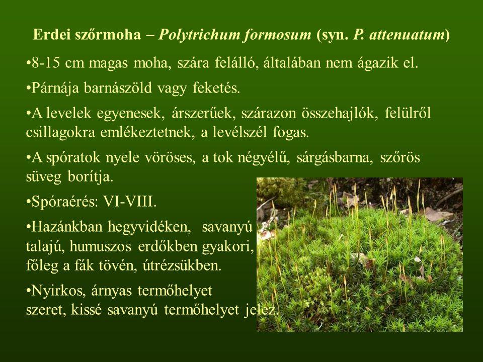 Erdei szőrmoha – Polytrichum formosum (syn. P. attenuatum)