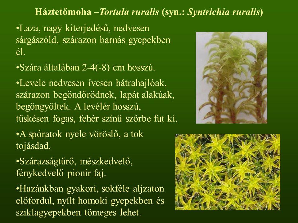 Háztetőmoha –Tortula ruralis (syn.: Syntrichia ruralis)