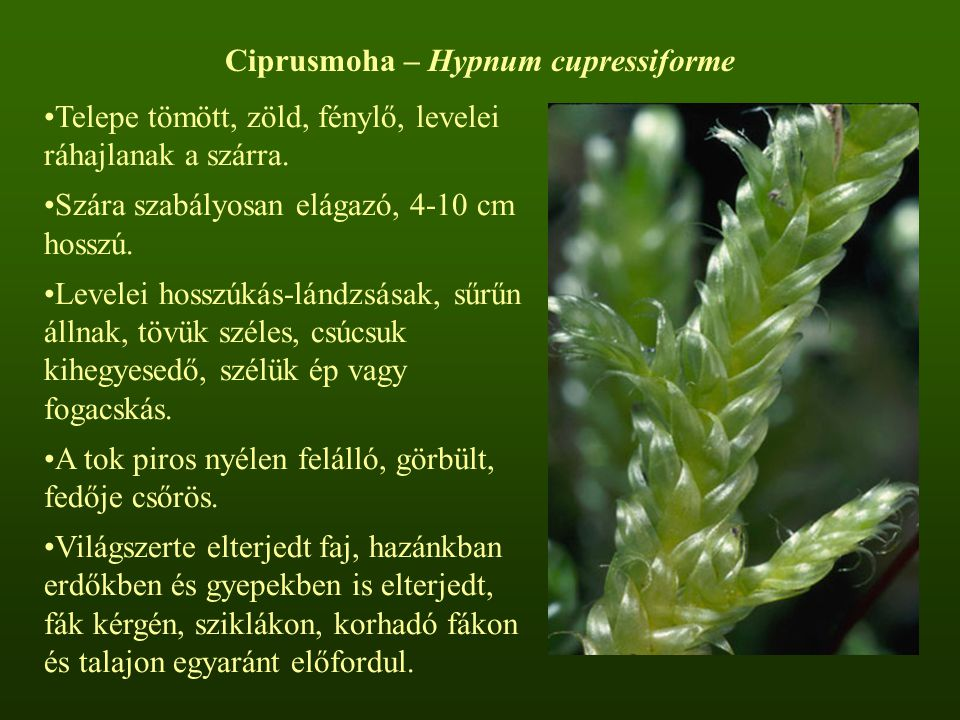 Ciprusmoha – Hypnum cupressiforme