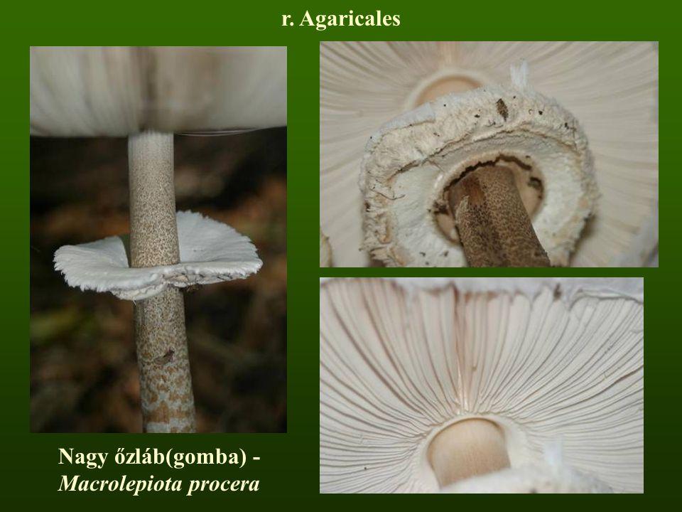 r. Agaricales Nagy őzláb(gomba) - Macrolepiota procera
