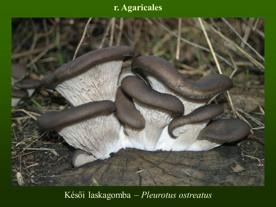 Késői laskagomba – Pleurotus ostreatus
