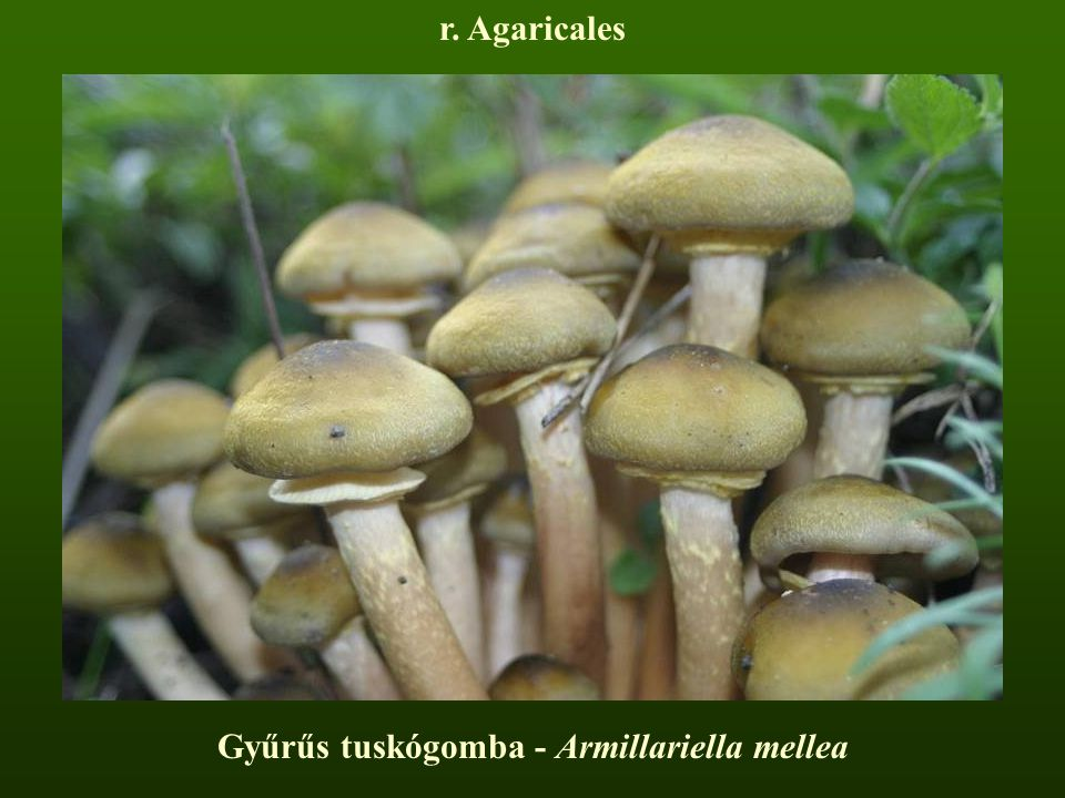 Gyűrűs tuskógomba - Armillariella mellea
