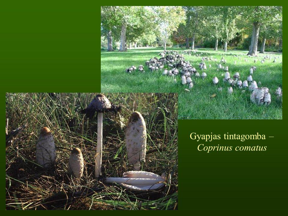 Gyapjas tintagomba – Coprinus comatus