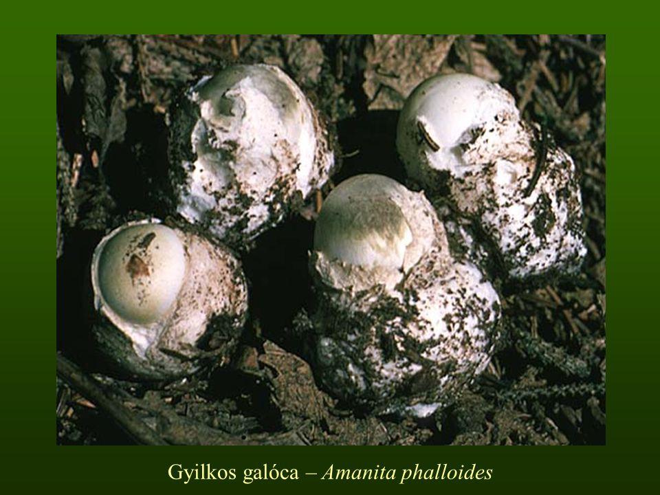Gyilkos galóca – Amanita phalloides