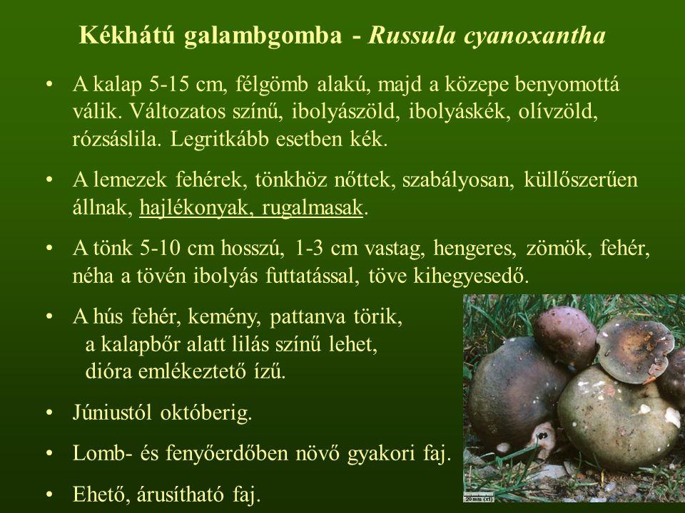 Kékhátú galambgomba - Russula cyanoxantha