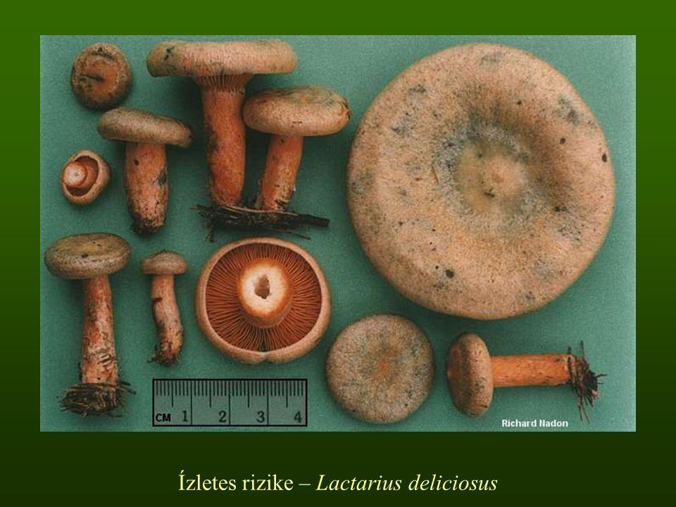 Ízletes rizike – Lactarius deliciosus