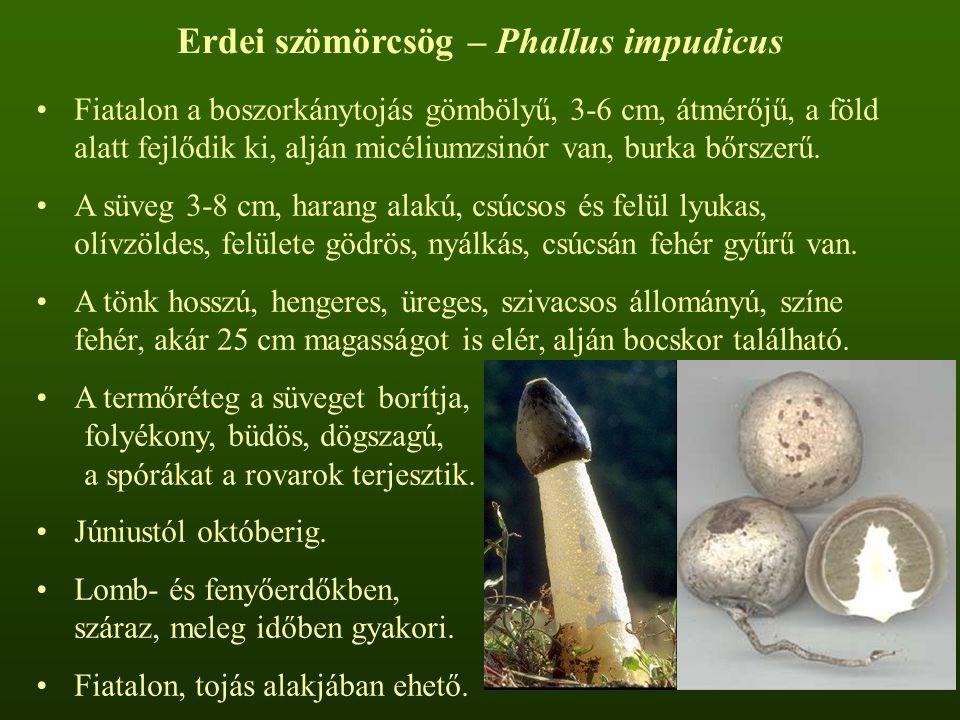 Erdei szömörcsög – Phallus impudicus