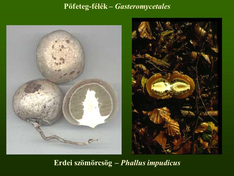 Pöfeteg-félék – Gasteromycetales Erdei szömörcsög – Phallus impudicus