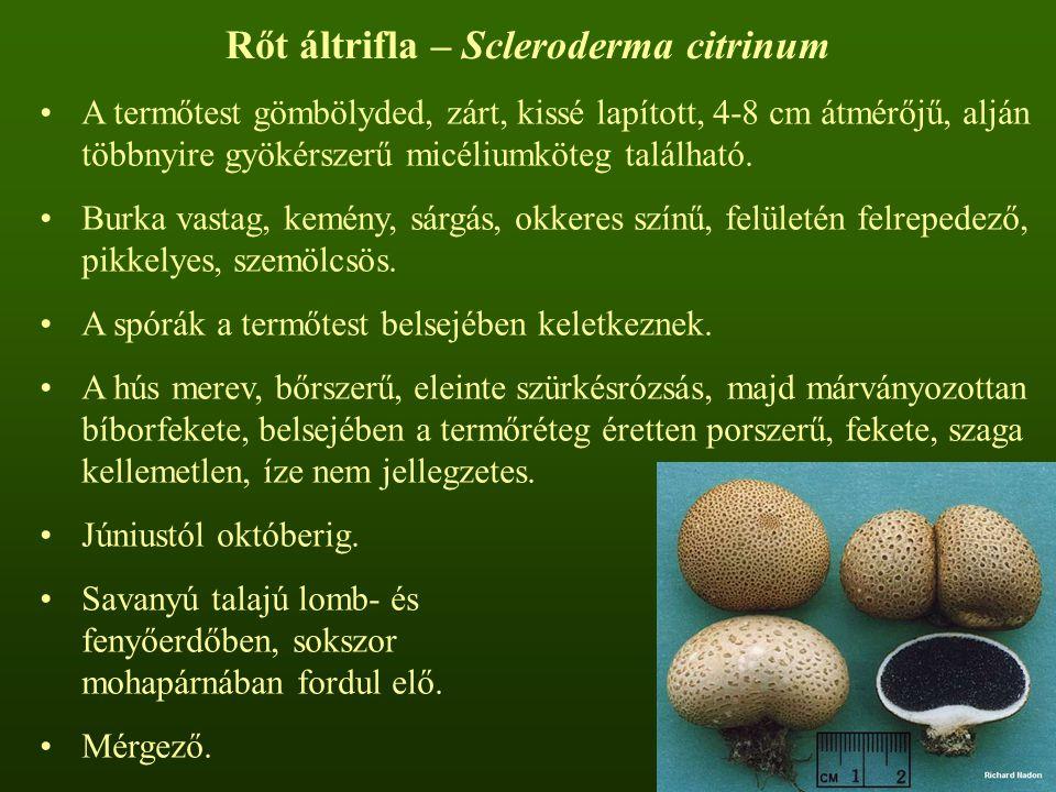 Rőt áltrifla – Scleroderma citrinum