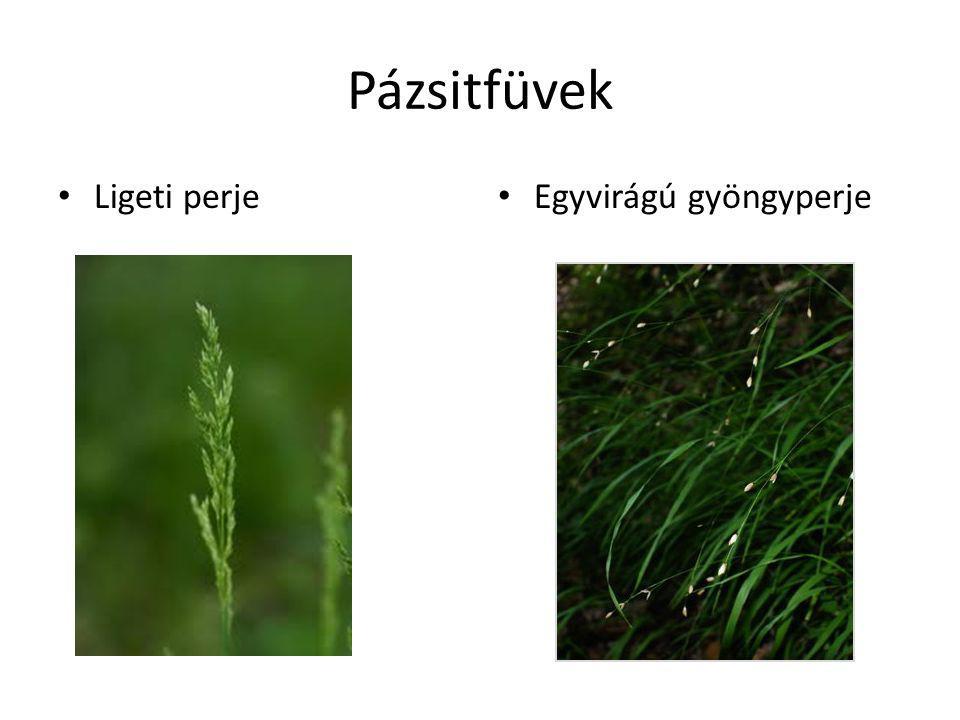 Pázsitfüvek Ligeti perje Egyvirágú gyöngyperje