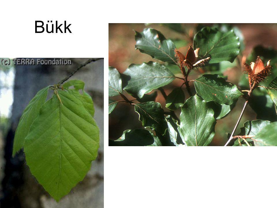 Bükk Fagus.sylvatica.2-1 TERRA Foundation Bukk FakCD385