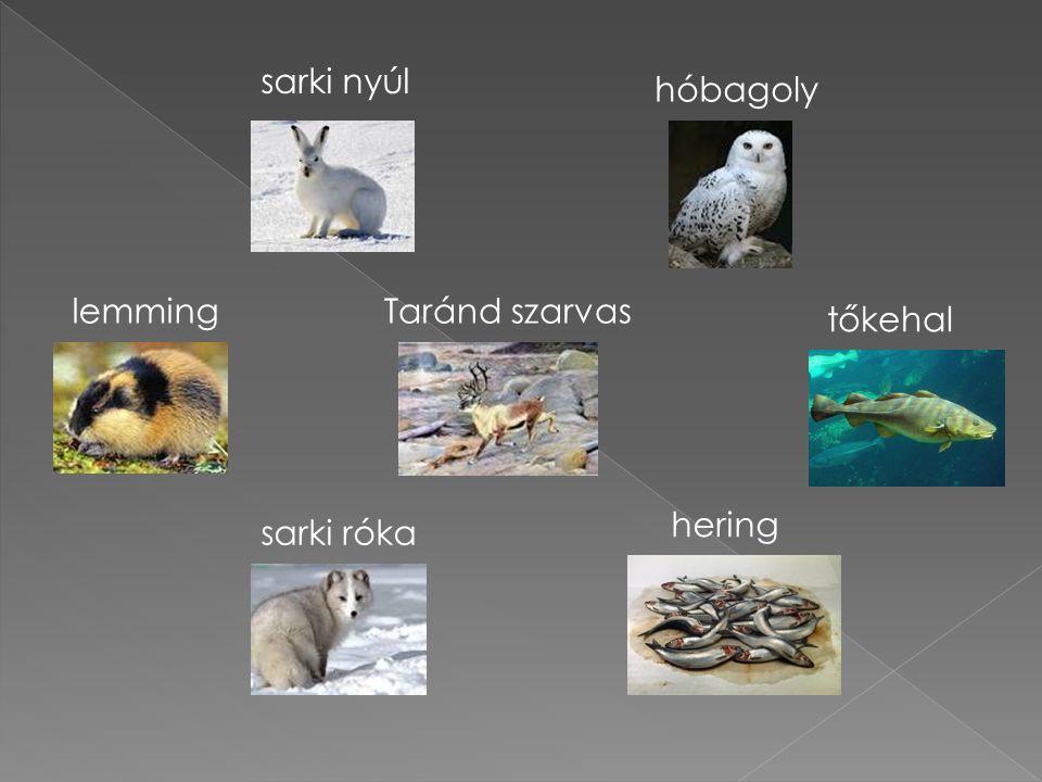 sarki nyúl hóbagoly lemming Taránd szarvas tőkehal hering sarki róka