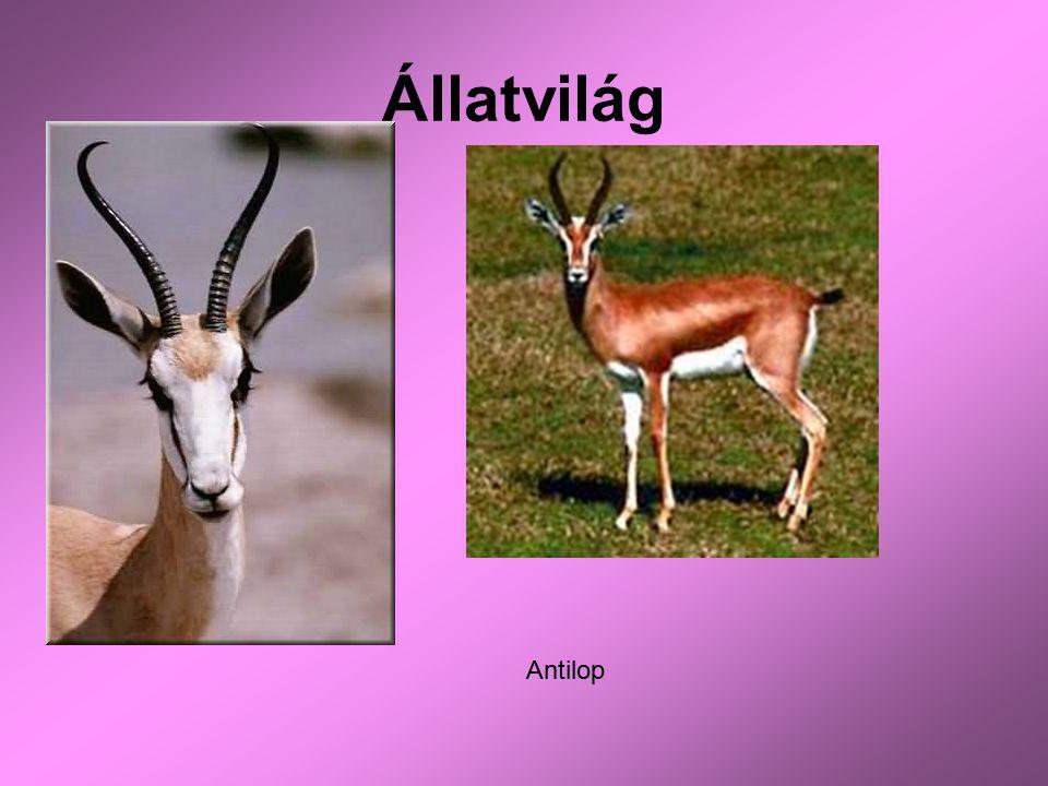 Állatvilág Antilop