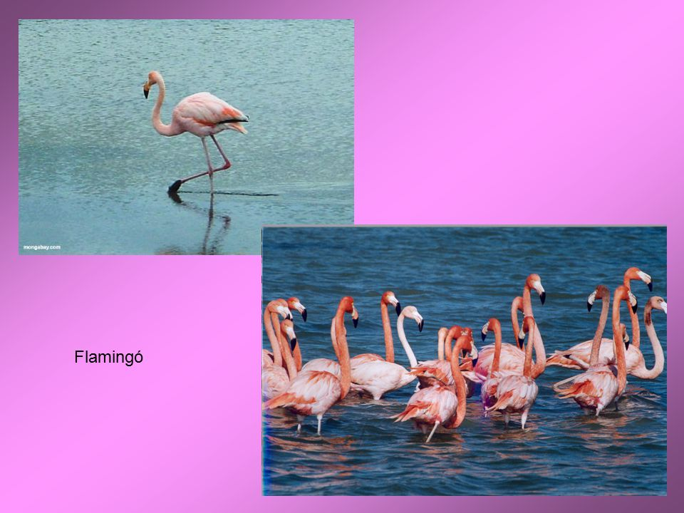 Flamingó