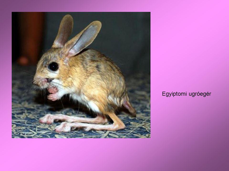 Egyiptomi ugróegér