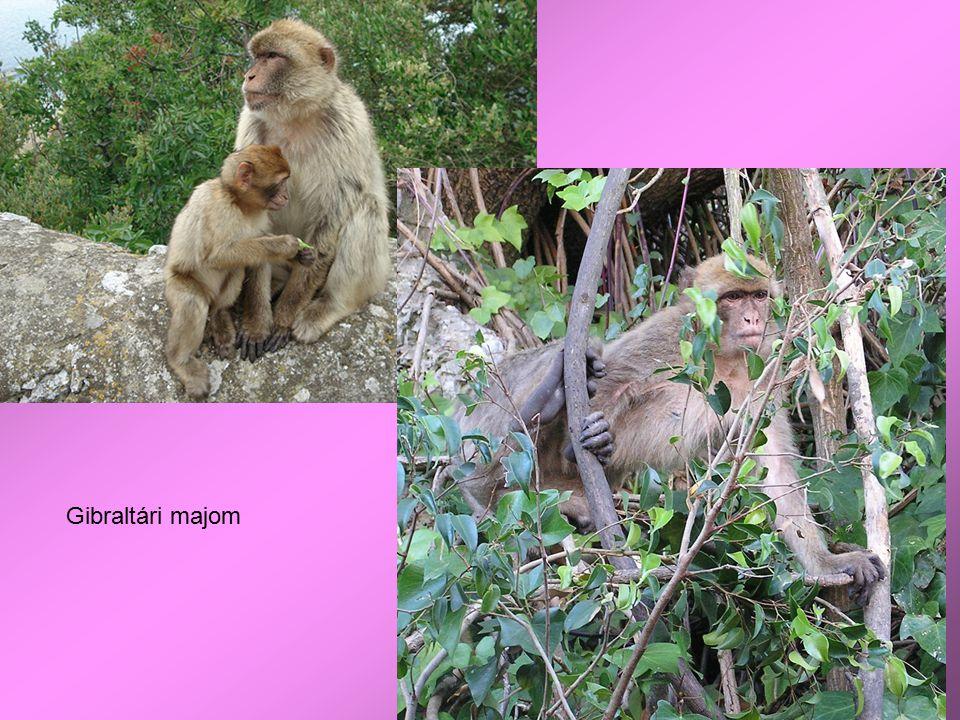 Gibraltári majom