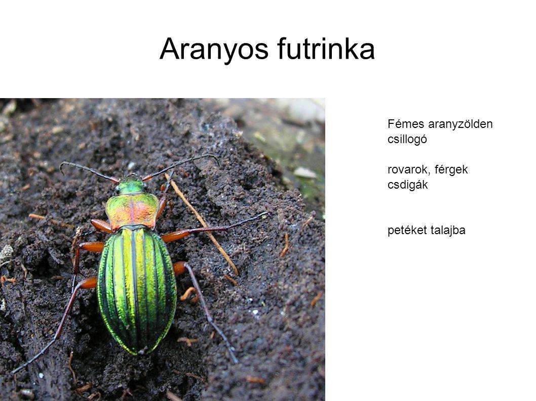 Aranyos futrinka Fémes aranyzölden csillogó rovarok, férgek csdigák