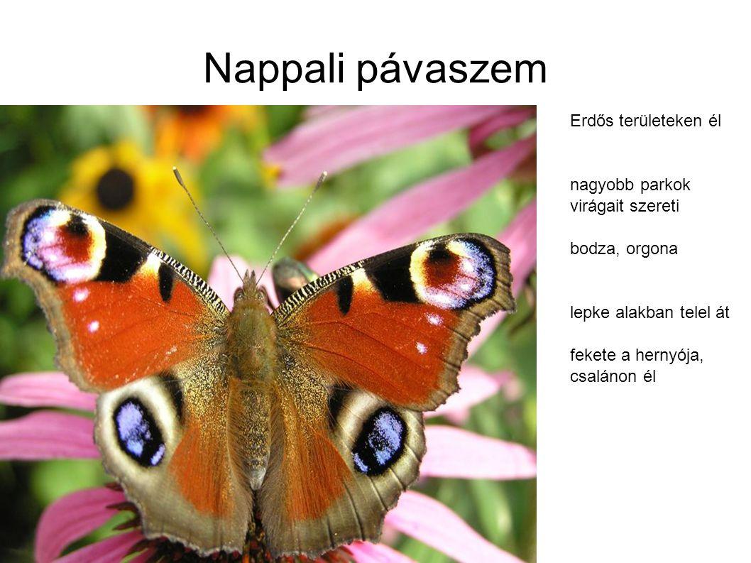 Nappali pávaszem Erdős területeken él nagyobb parkok virágait szereti