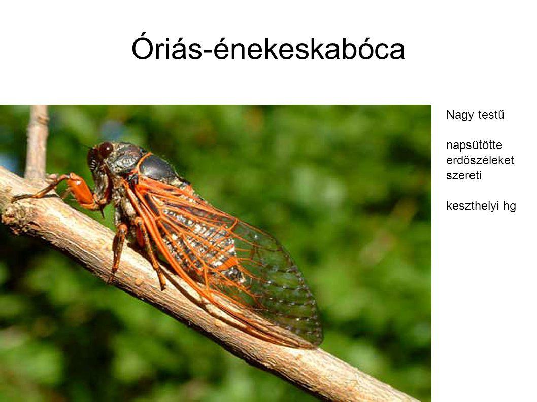 Óriás-énekeskabóca Nagy testű napsütötte erdőszéleket szereti