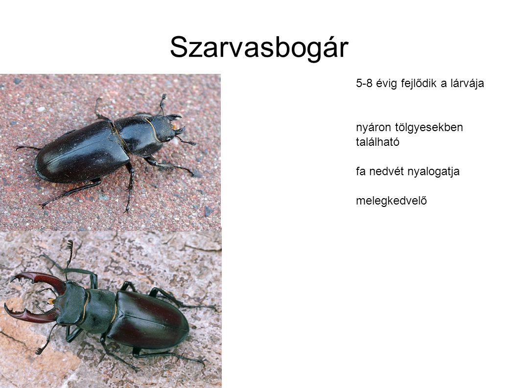 Szarvasbogár 5-8 évig fejlődik a lárvája nyáron tölgyesekben található