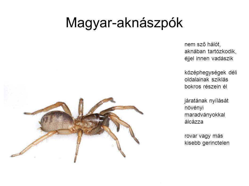 Magyar-aknászpók nem sző hálót, aknában tartózkodik, éjjel innen vadászik. középhegységek déli oldalainak sziklás bokros részein él.
