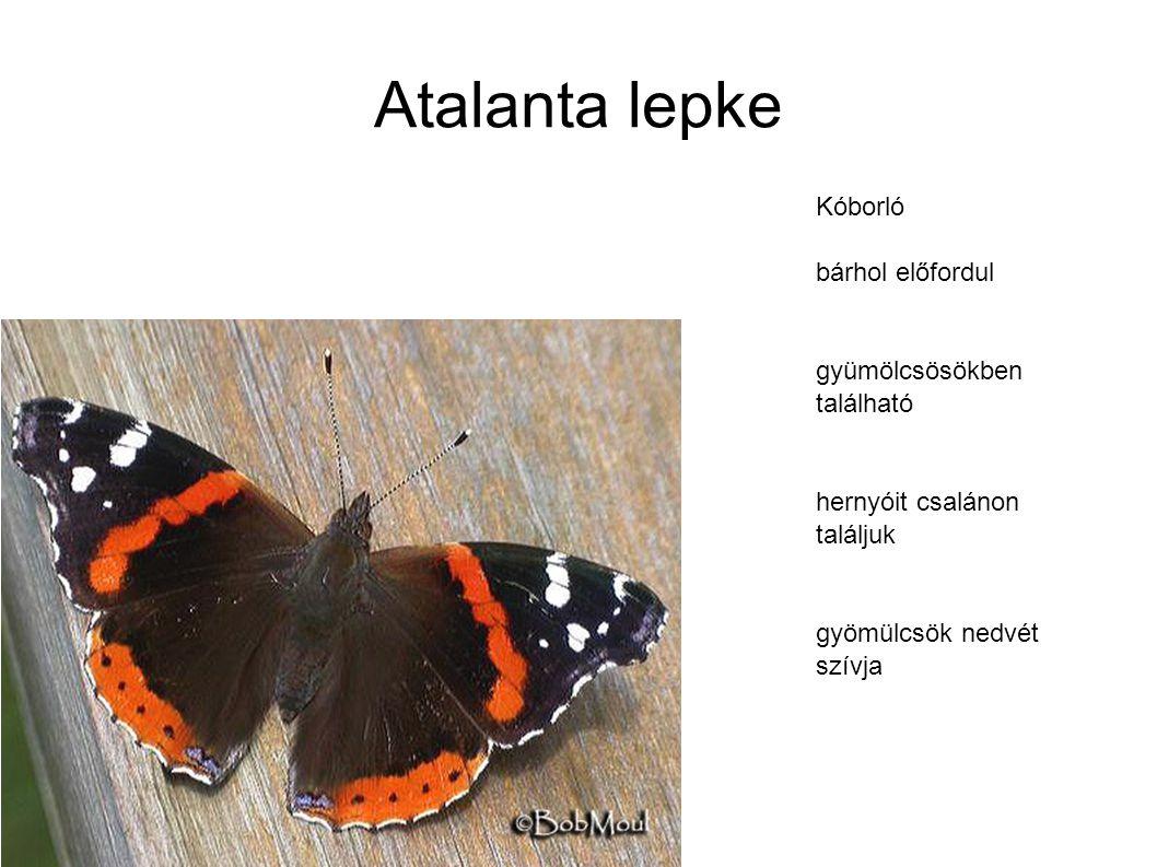 Atalanta lepke Kóborló bárhol előfordul gyümölcsösökben található