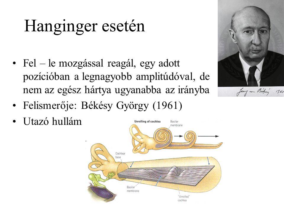 Hanginger esetén Fel – le mozgással reagál, egy adott pozícióban a legnagyobb amplitúdóval, de nem az egész hártya ugyanabba az irányba.