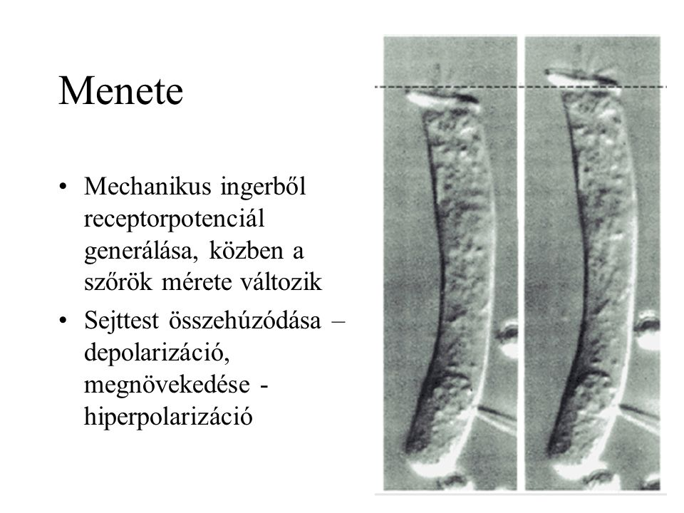 Menete Mechanikus ingerből receptorpotenciál generálása, közben a szőrök mérete változik.