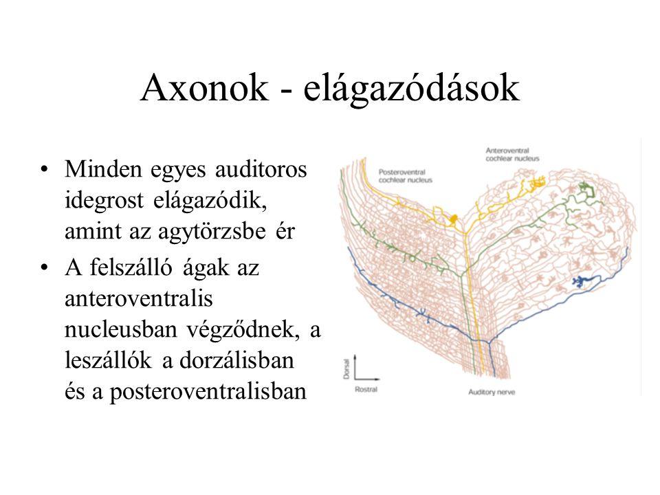Axonok - elágazódások Minden egyes auditoros idegrost elágazódik, amint az agytörzsbe ér.