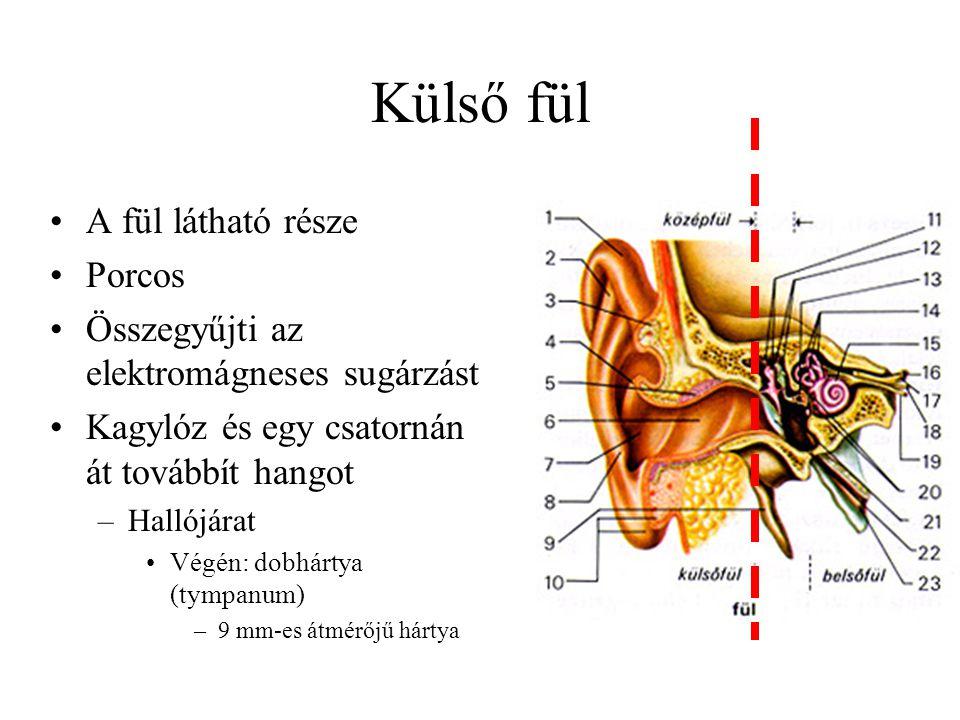 Külső fül A fül látható része Porcos