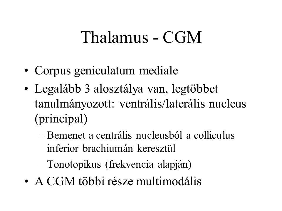 Thalamus - CGM Corpus geniculatum mediale
