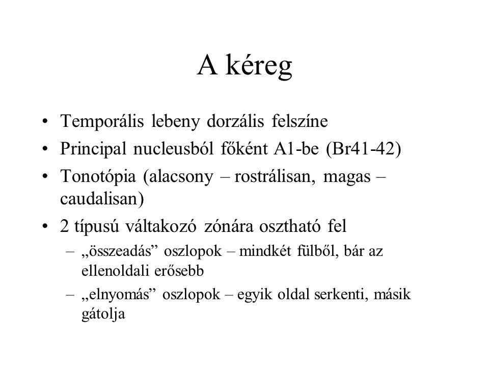 A kéreg Temporális lebeny dorzális felszíne