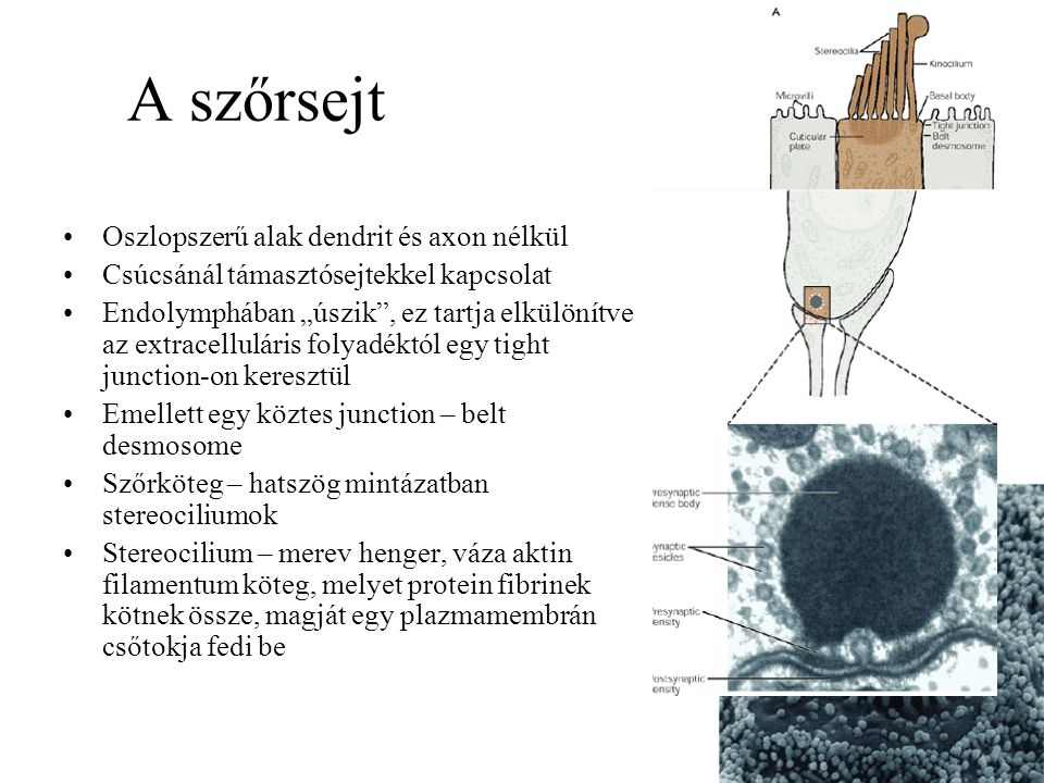A szőrsejt Oszlopszerű alak dendrit és axon nélkül
