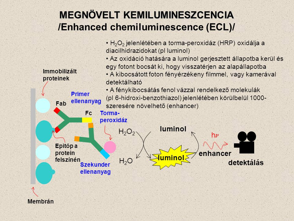 MEGNÖVELT KEMILUMINESZCENCIA /Enhanced chemiluminescence (ECL)/