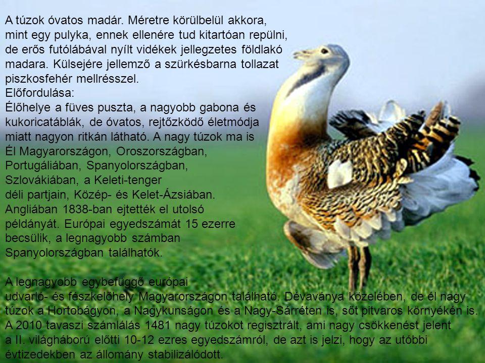 A túzok óvatos madár. Méretre körülbelül akkora,