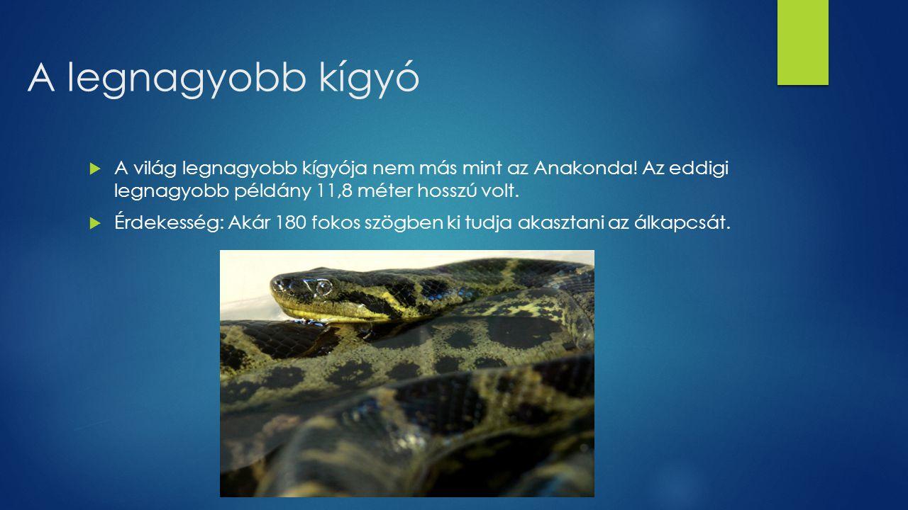 A legnagyobb kígyó A világ legnagyobb kígyója nem más mint az Anakonda! Az eddigi legnagyobb példány 11,8 méter hosszú volt.